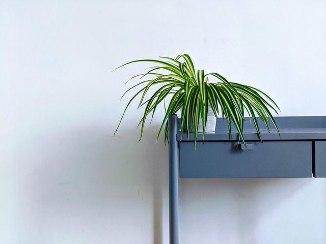 rośliny - zielistka na biurku