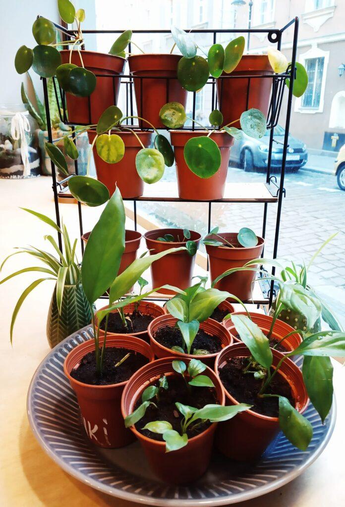 rośliny z Okna życia dla roślin w Opolu